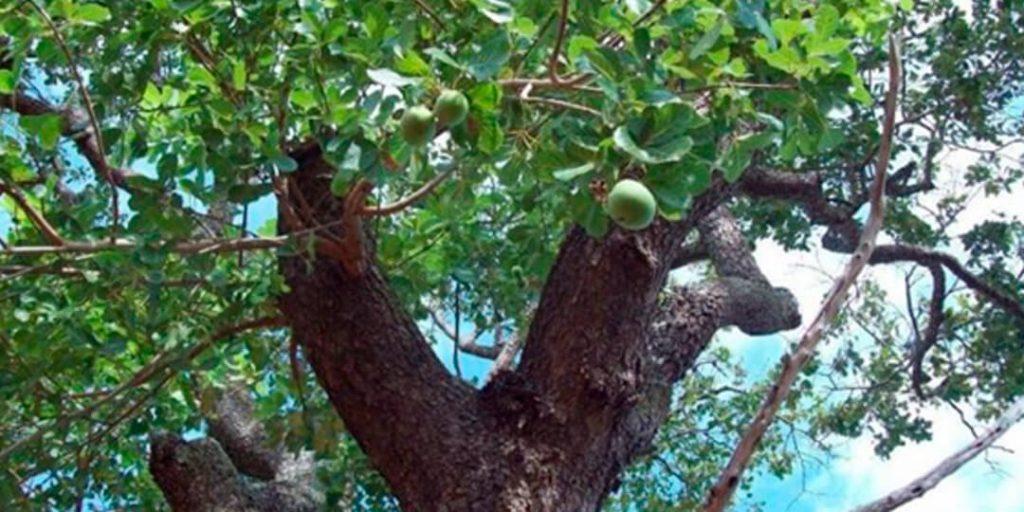A deputada estadual Delegada Adriana Accorsi apresentou projeto de lei, no dia 17 de maio, que declara o pequizeiro (Caryocar brasiliense) árvore símbolo do cerrado no âmbito do Estado de Goiás.